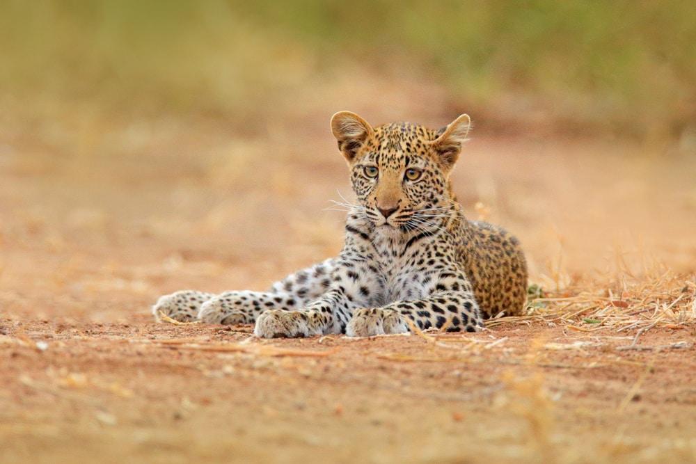 Un an de Léopard africain, Panthera pardus shortidgei, Parc national de Hwange, Zimbabwe. Grand chat sauvage dans l'habitat naturel. Jour ensoleillé dans la savane.