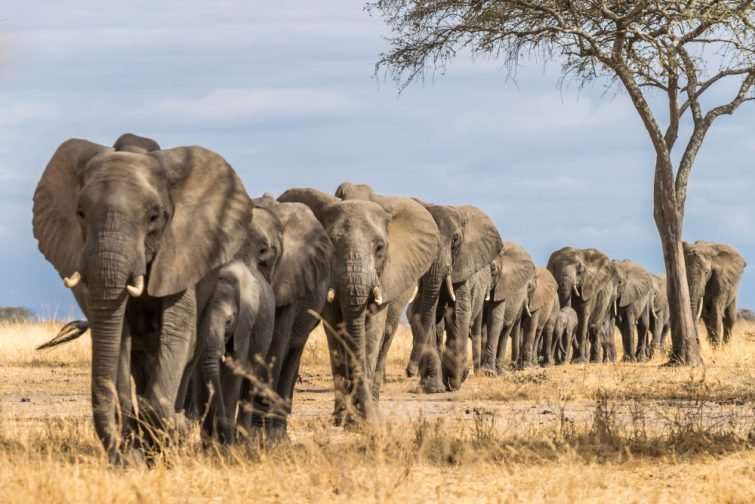 Un troupeau d'éléphants en Afrique marchant dans l'herbe du Parc national de Tarangire, Tanzanie safari en Tanzanie