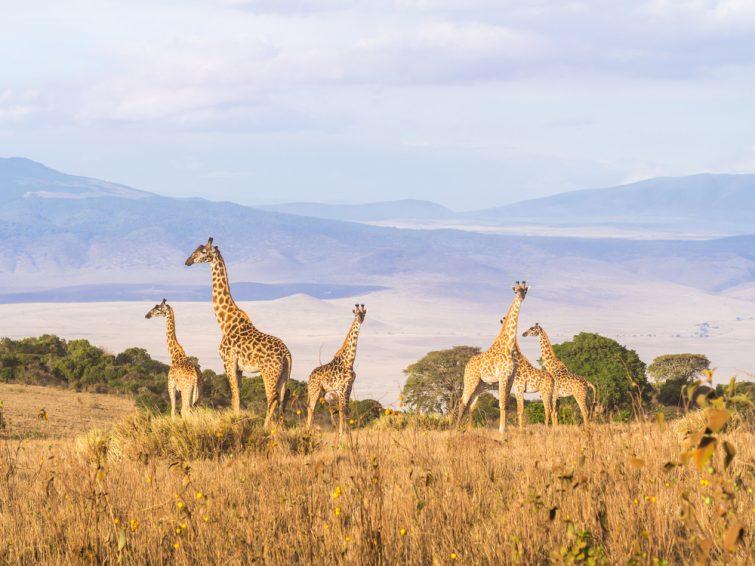 Un troupeau de girafes au bord du cratère de Ngorongoro en Tanzanie, en Afrique, au coucher du soleil. safari en Tanzanie