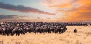 Une migration de la faune sauvage dans le Parc national du Serengeti, en Tanzanie