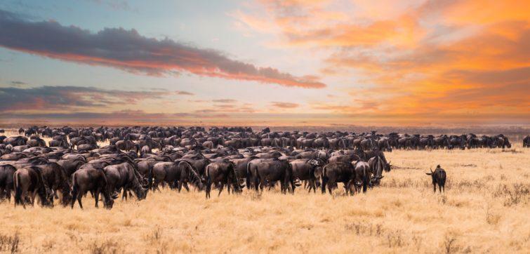 Une migration de la faune sauvage dans le Parc national du Serengeti, en Tanzanie safari en Tanzanie