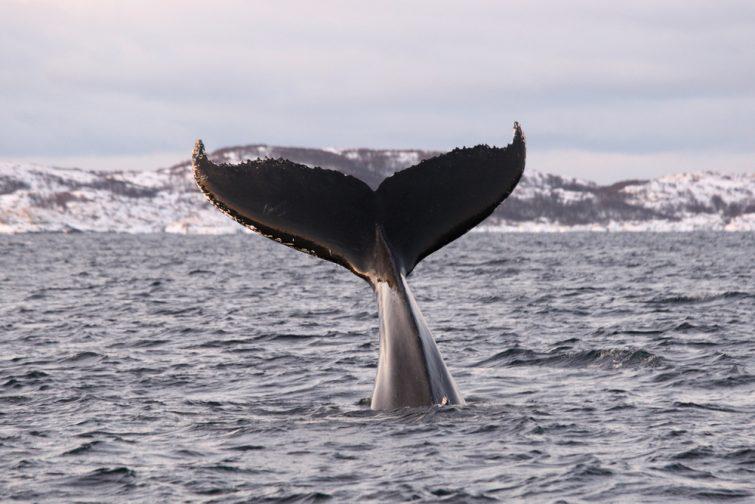 baleine tromso