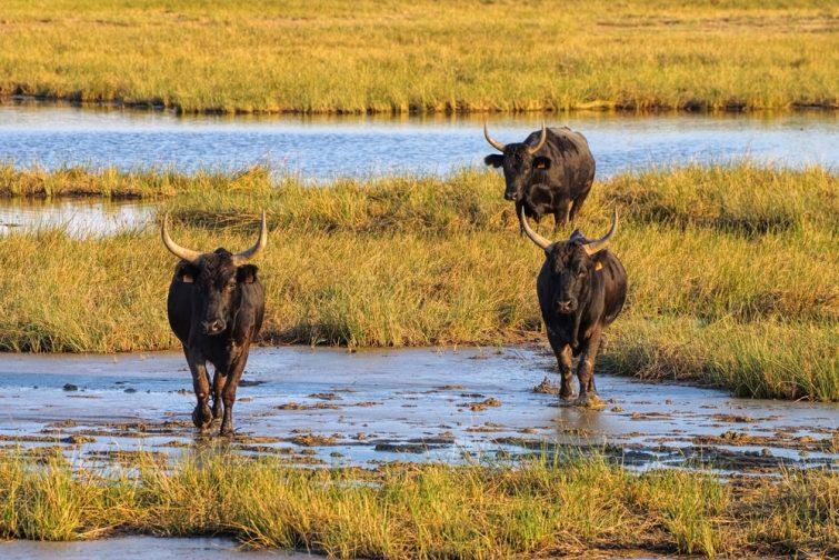 Les taureaux de Camargue