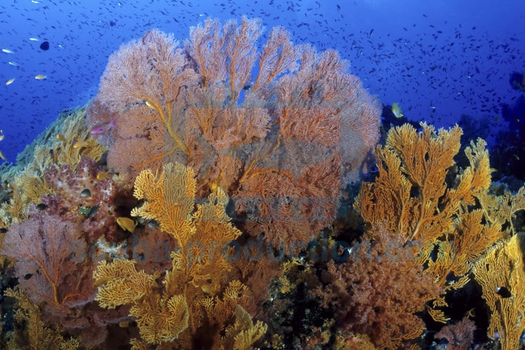 gorgones corail calédonie
