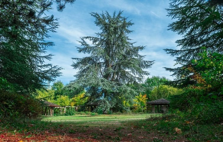 Sapins dans Arboretum de La Roche-Guyon