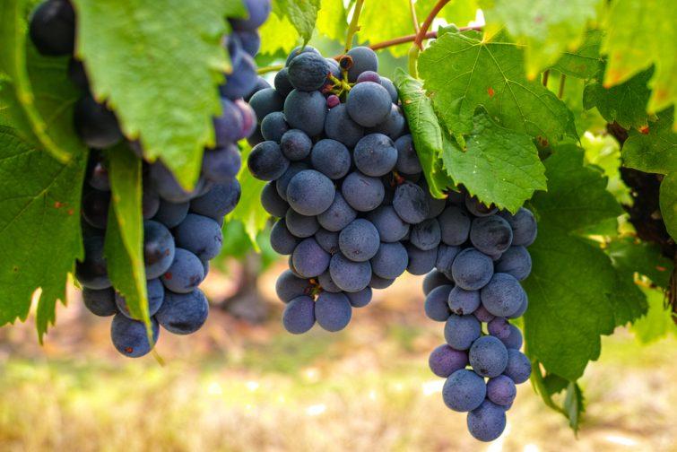 Grappe de raisin du domaine AOP des Costières de Nîmes