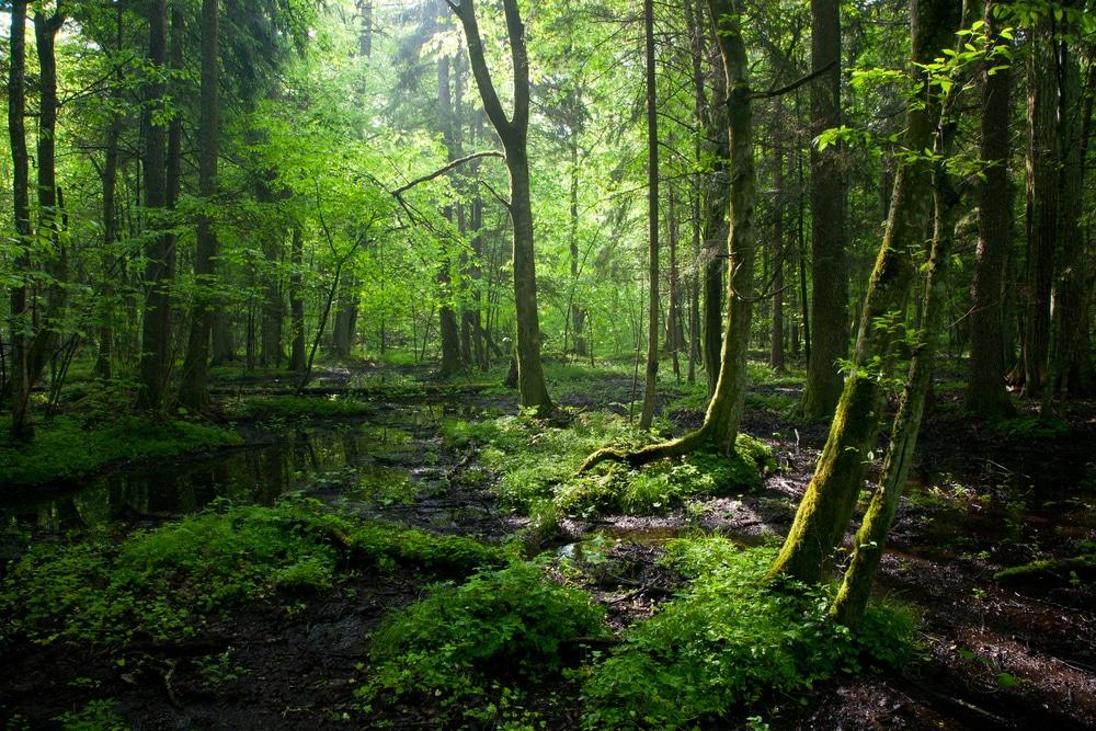 Lumière matinale sur la forêts de Bialowieza