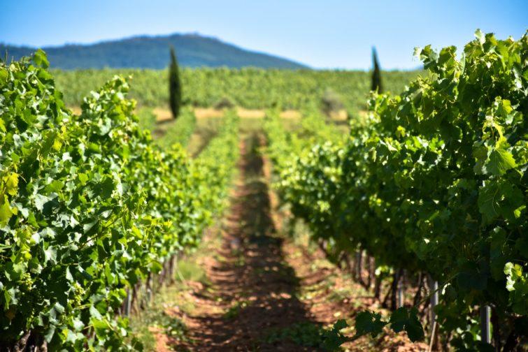 Vignes autour d'Aix-en-Provence avec la Sainte-Victoire en fond