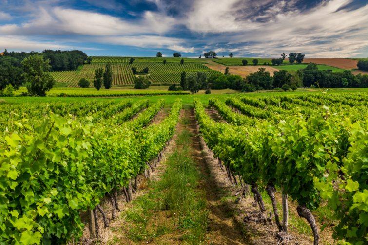 Vue sur des vignes de Gascone