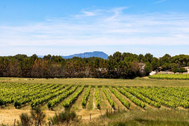 Vignobles avec vue sur le Pic-Saint-Loup