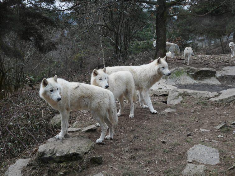 Le parc à loups du Gévaudan