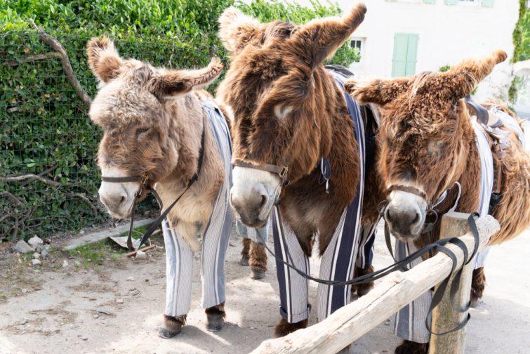 Visiter l'Île de Ré : Les ânes culottés