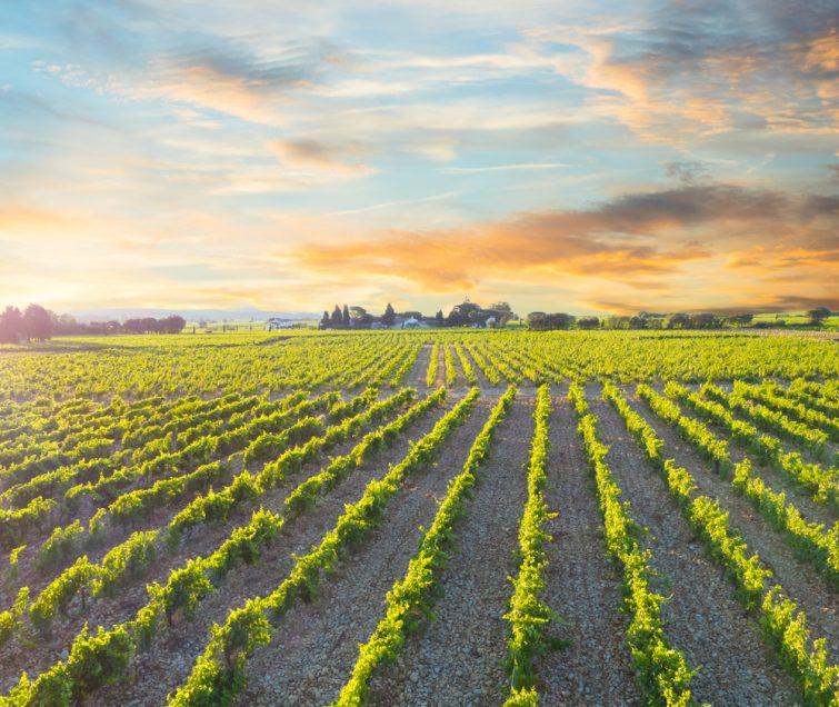 Visiter Avignon : vignobles du Chateauneuf du Pape au levé du soleil