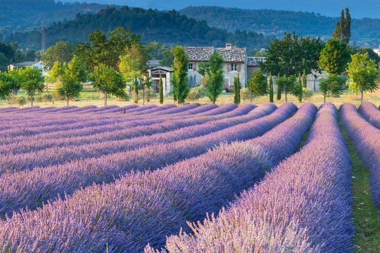visiter le Vaucluse Champs de Lavande