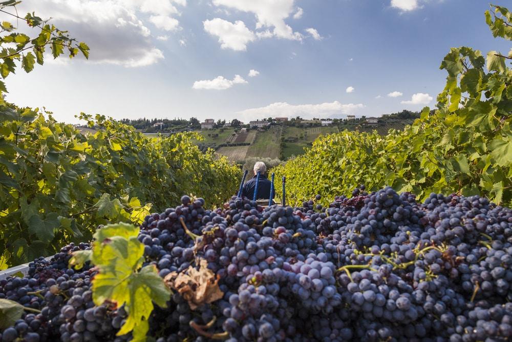 Récolte du Brunello, à Montalcino