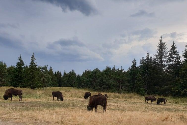 Réserve naturelle des bisons d'Europe