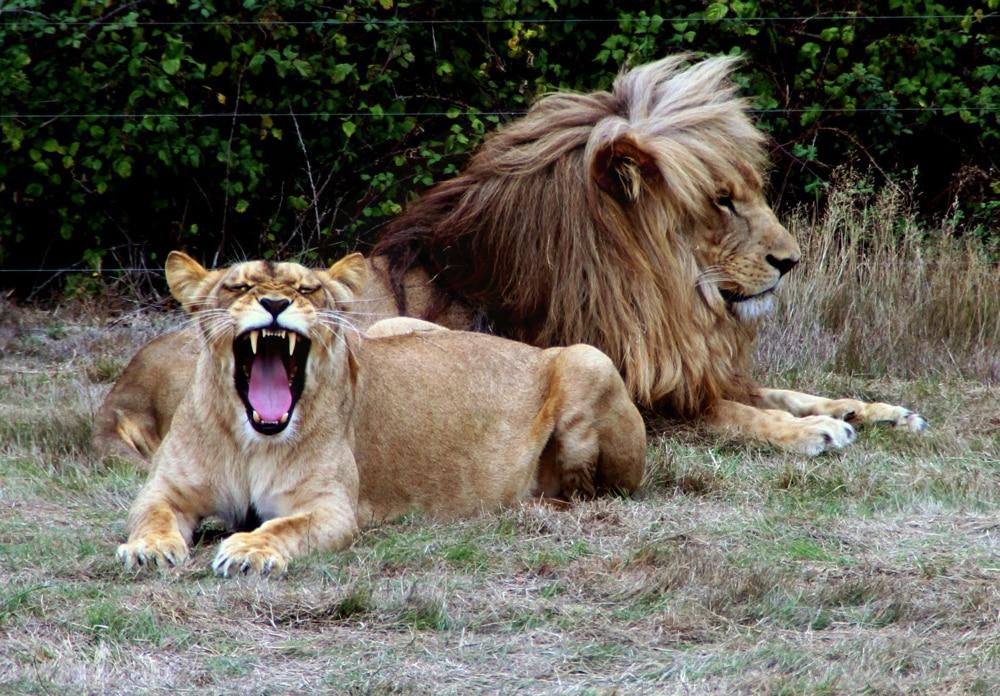 Planète sauvage, lion et lionne