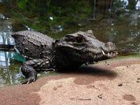 Crocodile Planet Exotica