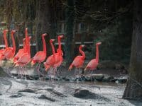 Flamand rose beauval