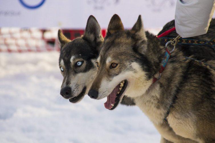 activités-outdoor-saint-françois-longchamp-chiens-traineau