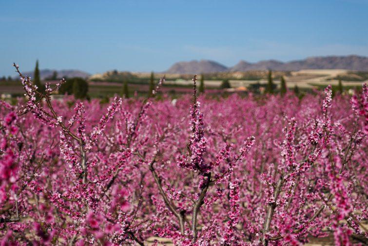 Floraison Cieza visiter la région Murcie
