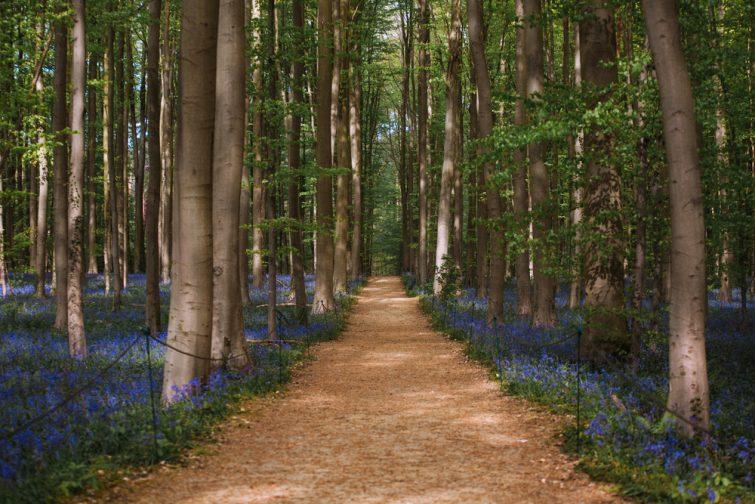 Forêt hallerbos visiter Brabant flamand
