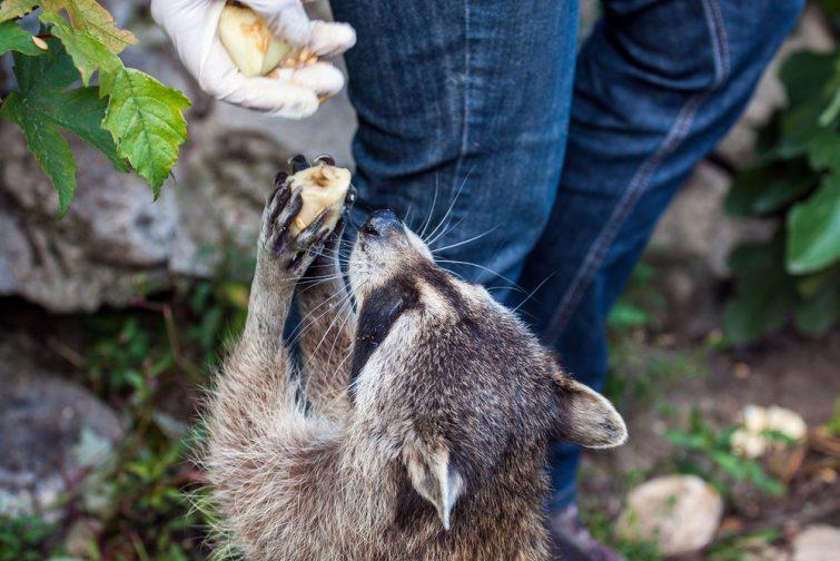 Soigneur Raccoon Zoo Beauval