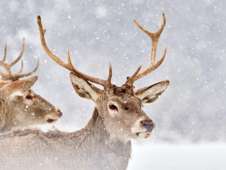 cerf-hiver-randonnees-raquettes-alpes