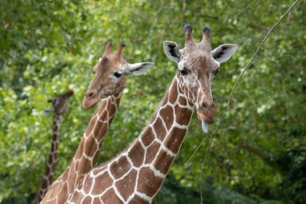 Les 15 animaux les plus iconiques à voir au Zoo de Beauval