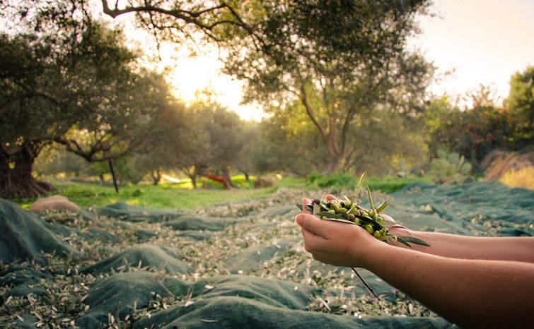 huile-olive-production-crete