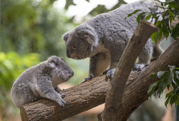 koala-zoo-animaux