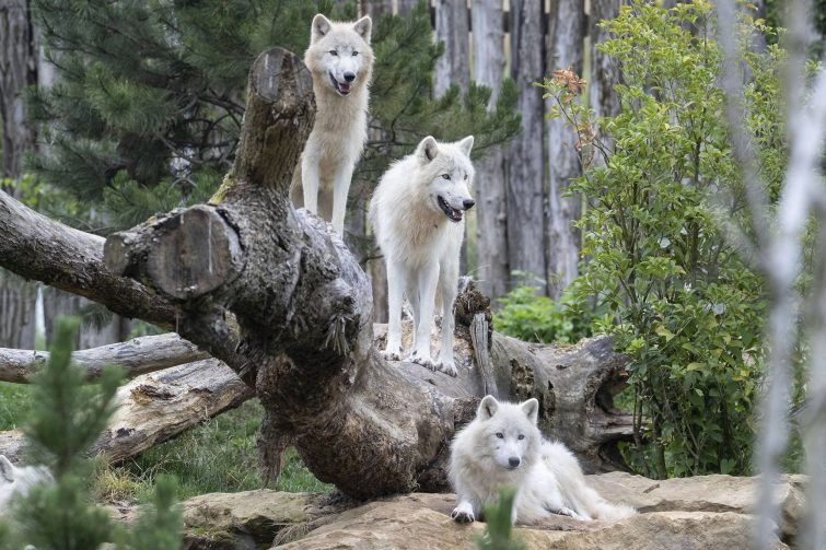 loups-zoo-beauval