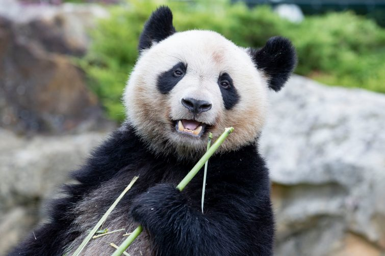 panda-animaux-zoo-beauval