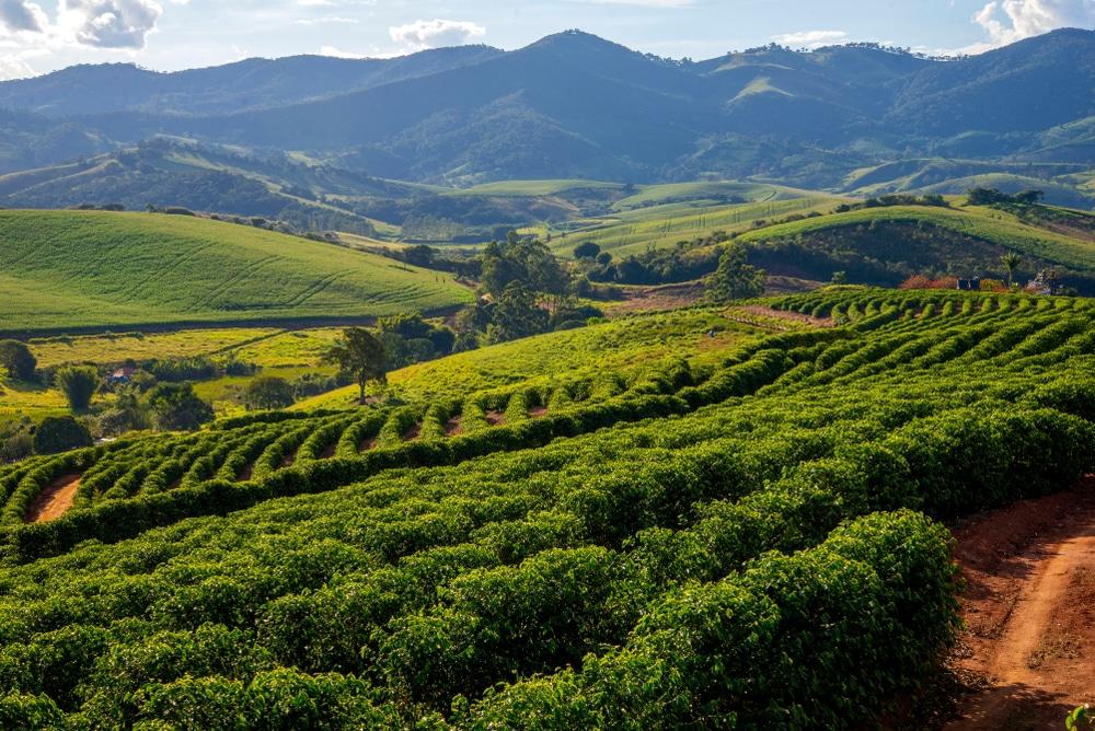Plantation de café Arabica, Carmo de Minas, Brésil - Luciana Tancredo