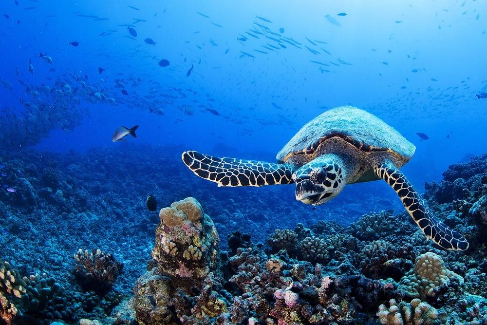 Tortue nageant dans le Pacifique