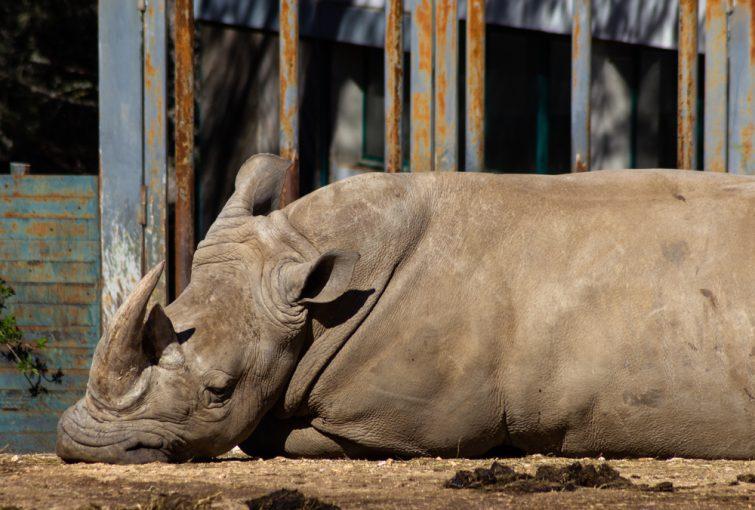 Rhinoceros-zoo-lunaret