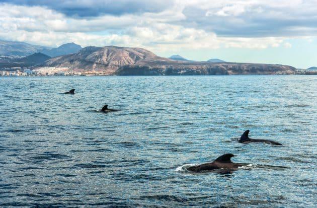 Croisière d'observation des baleines à Tenerife