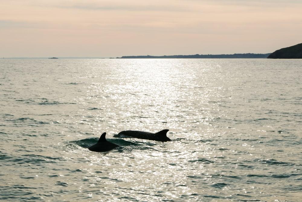 La baie du Mont-Saint-Michel - dauphins baleines
