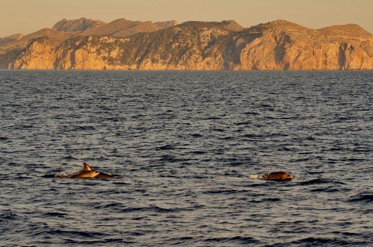 Dauphins dans la baie Alcúdia